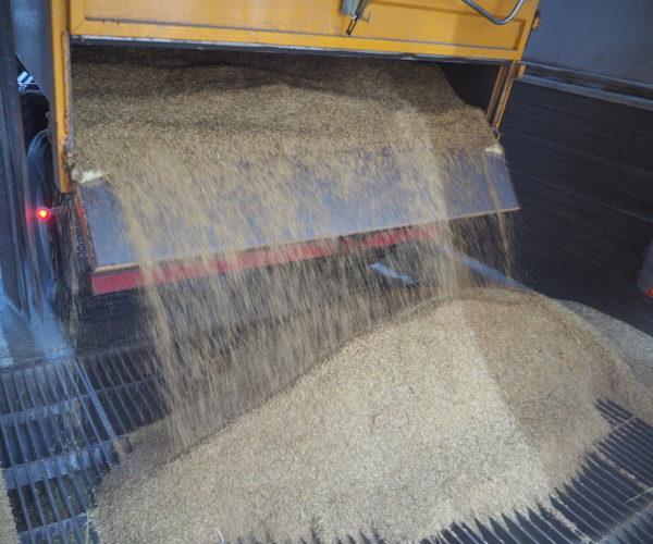 10 tonn med tørr og fin havre renner ut av hengeren.