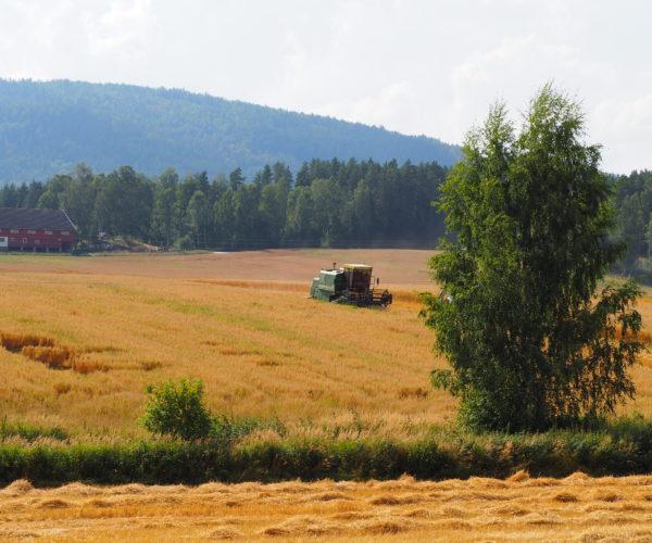 I nærheten var det flere bønder som også var i gang med treskinga.