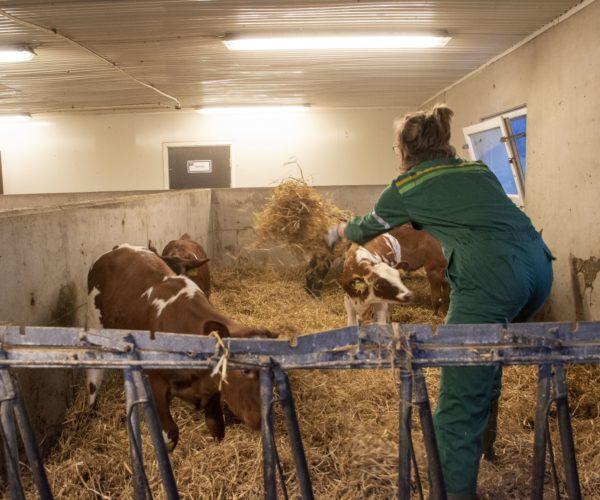 Naturbrukselever får stelle dyra i fjøset på Melsom