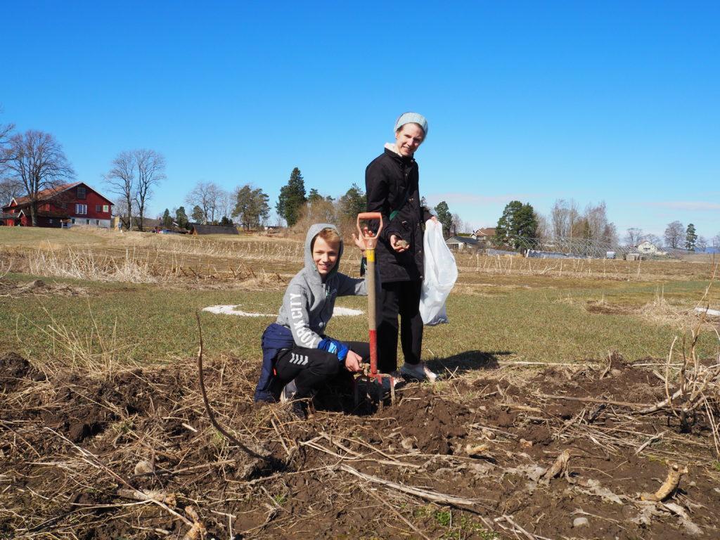 Silje og Annar graver opp jordskokk.