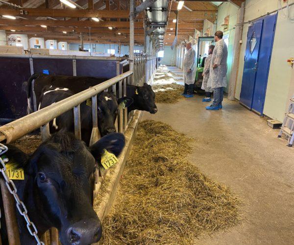 I melkekufjøset på Søve får elevene ta del i daglig melking og stell