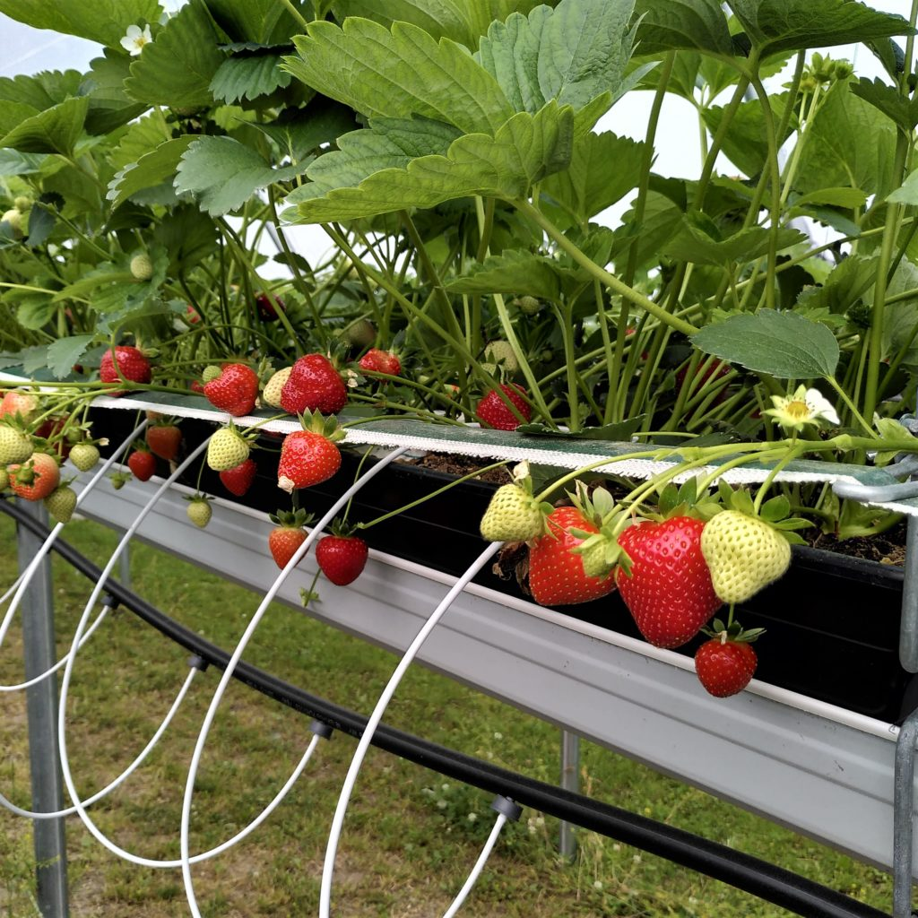 Flotte planter med fantastiske bær. Her ses systemet for vanning.